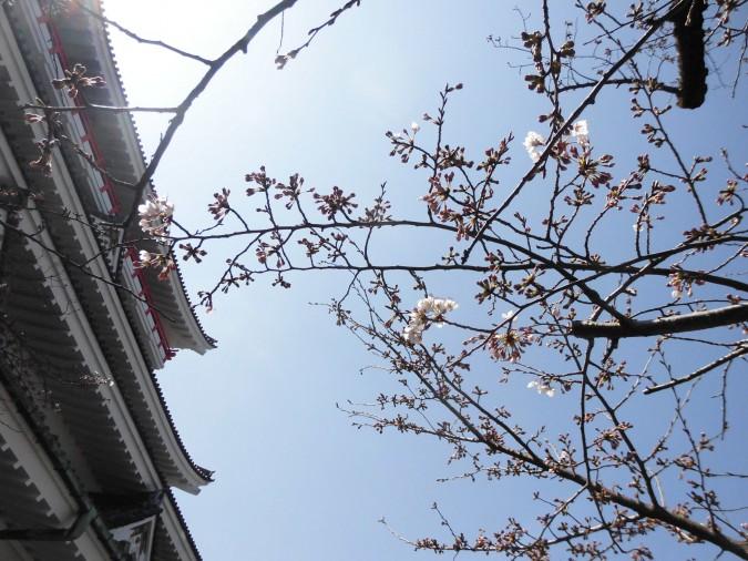 熱海城の桜の開花状況(城前の桜が1~2分咲きです。)
