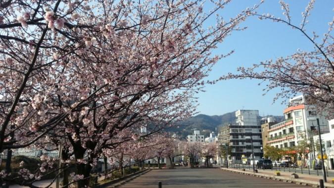 大寒桜が散り始めです