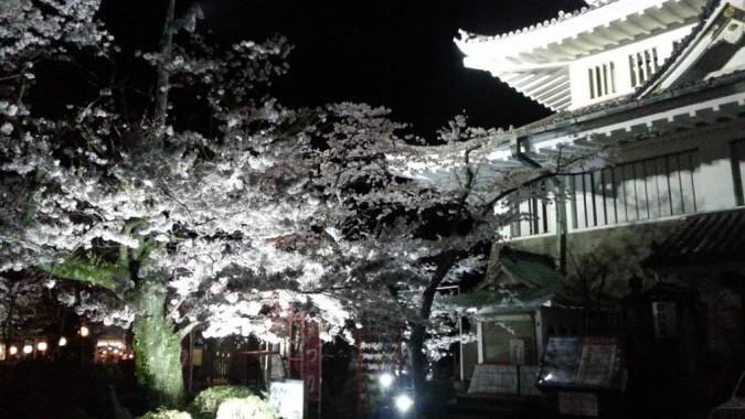 熱海城の桜が満開です。~ライトアップも始まりました。~
