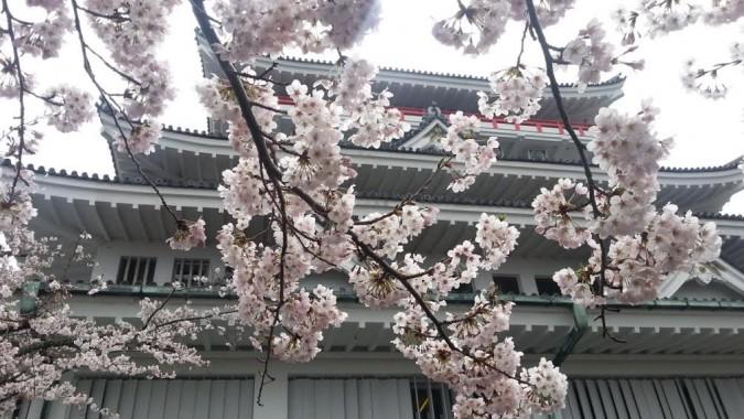 熱海城の桜(お城の前)が7~8分咲きです。