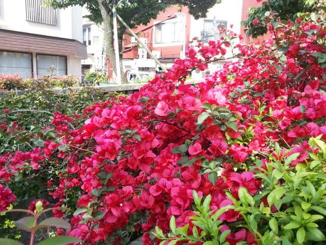ブーゲンビリアやジャカランダが開花し始めています。