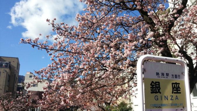 『あたみ桜』が、7分咲です。~糸川遊歩道沿い~