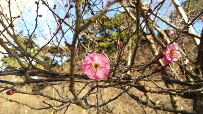 早咲きの梅が咲き始めています。~開幕前の熱海梅園~
