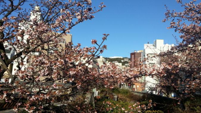 1月25日『あたみ桜』(糸川遊歩道沿い)が見ごろを迎えています。
