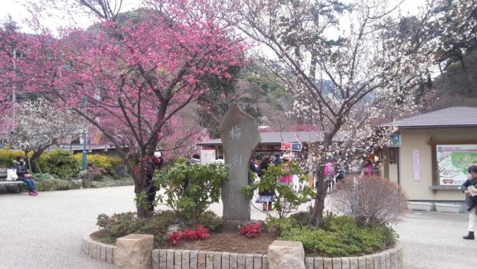 早咲きの梅が見ごろです。~熱海梅園梅まつり~