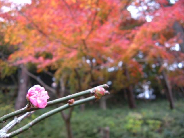 日本で一番遅い紅葉の名所『熱海梅園』