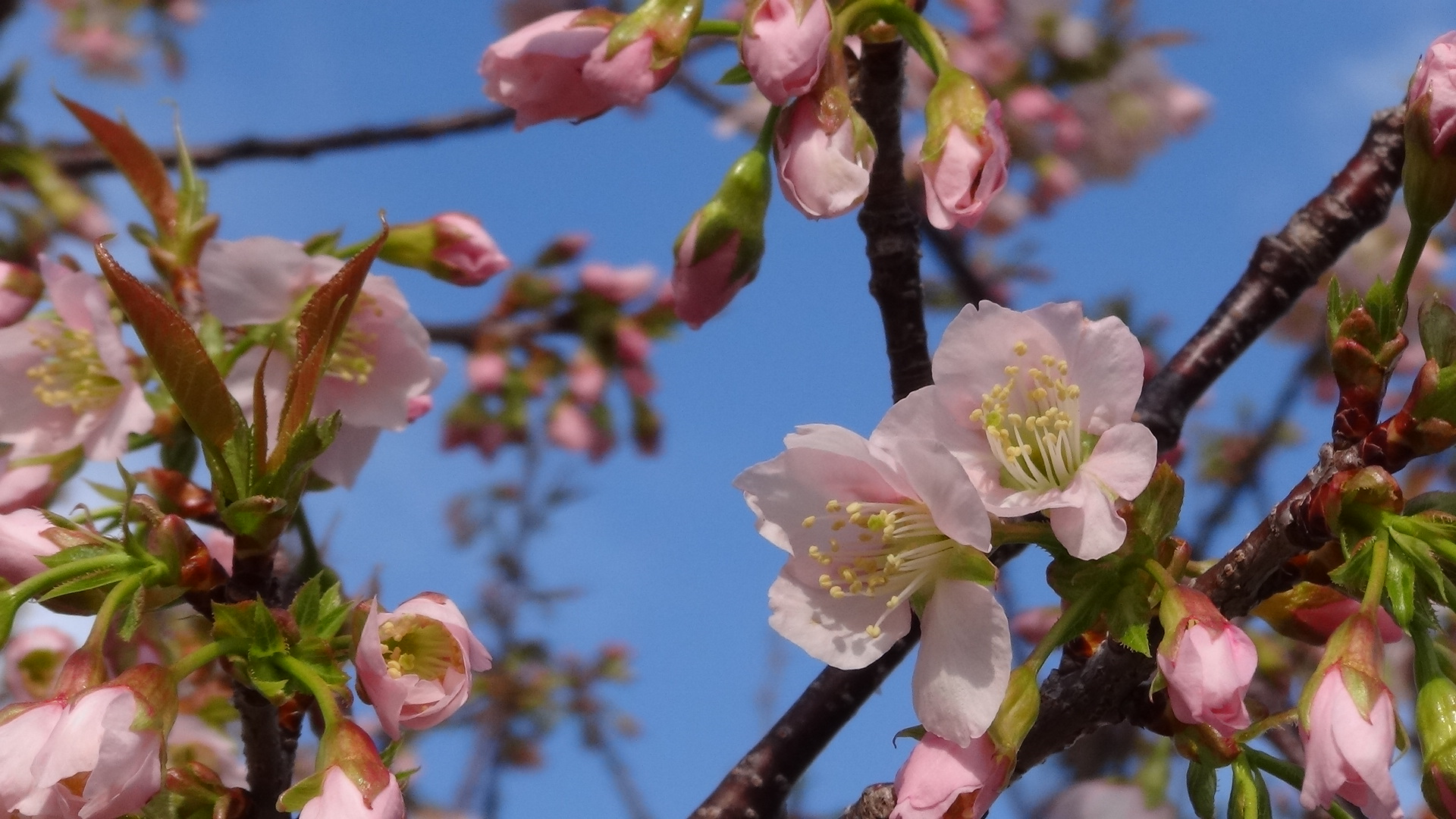 桜が咲きました!
