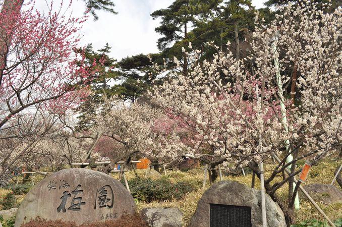 熱海梅園の梅まつりの開催期間が3月10日まで延長になりました