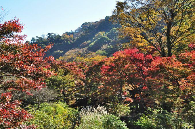 熱海梅園の紅葉もそろそろ見頃ですよ!