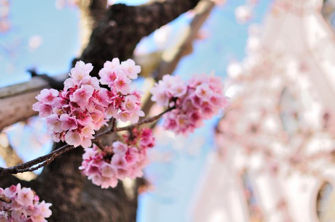 あたみ桜咲いてます