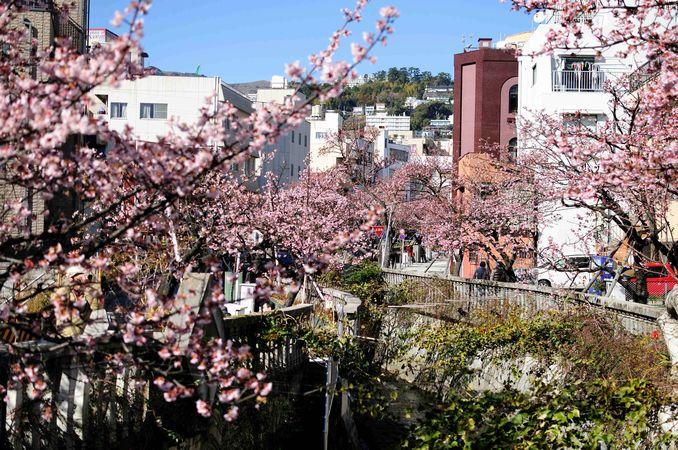 あたみ桜見頃ですよ♪