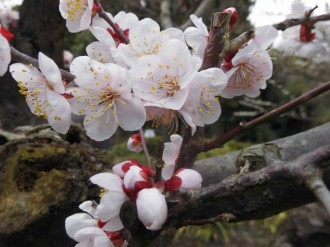 梅まつりは、終了しましtが、遅咲きの梅は、見頃が続きます。