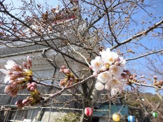 3月25日の熱海城の桜の開花状況。