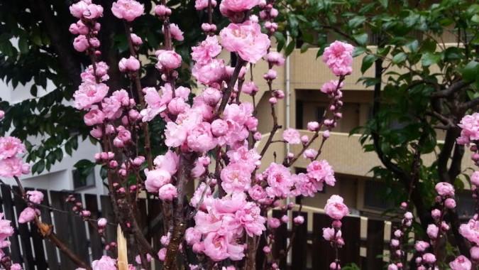 桃の木を植栽しました。~パブリック館6階の中庭に~
