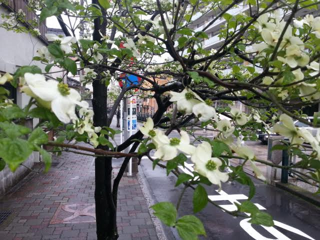 『ハナミズキ』の花を~初川沿いの街路樹~