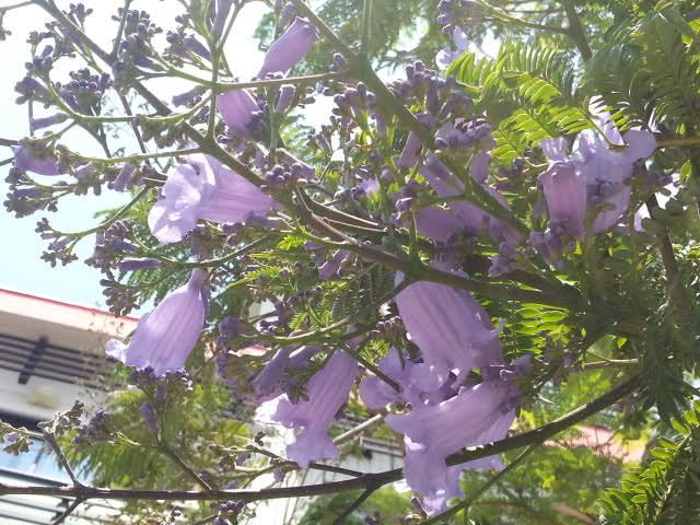 ジャカランダが咲き始めています。~渚館前~