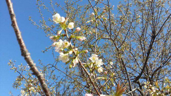 『ヒマラヤ桜』が咲き始めました。11月26日