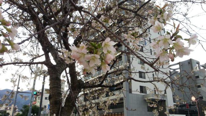 『ヒマラヤ桜』の開花が進んでいます。11月29日