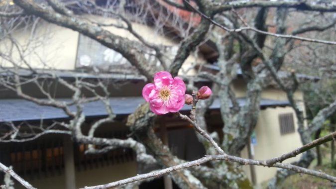 梅が、ポツポツ開花し始めています。