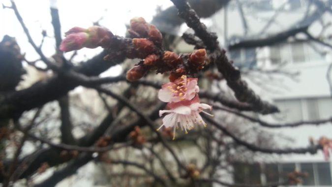 「あたみ桜」も開花しました。~糸川遊歩道~