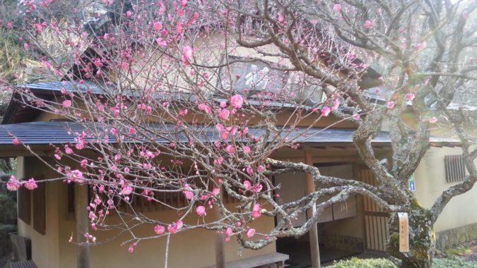100本以上の梅が開花をしています。~熱海梅園~12月31日
