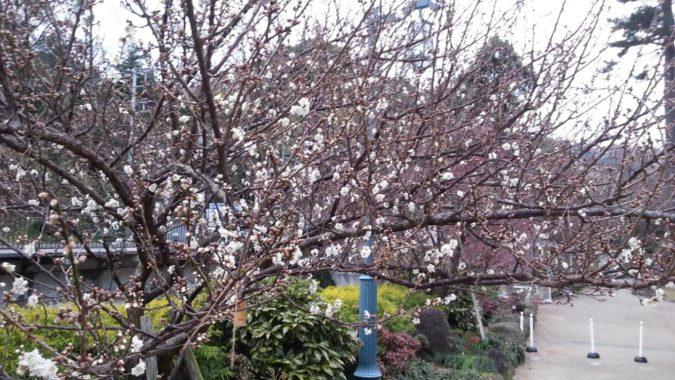 早咲きの梅の開花が進んでいます。~熱海梅園~12月29日