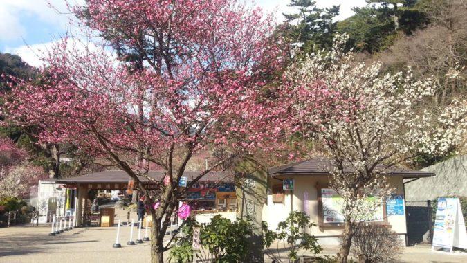1月13日(金)今日の『熱海梅園梅まつり』の開花状況