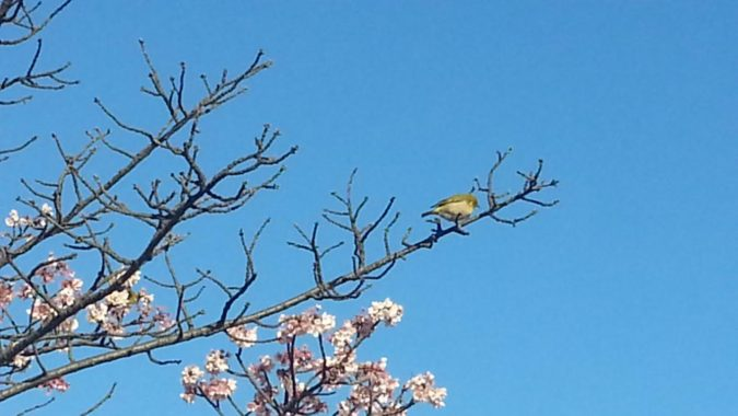 『あたみ桜』が満開です。~糸川遊歩道沿い~