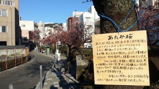『糸川遊歩道のあたみ桜』が散り始めています。