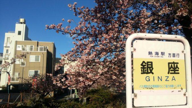 1月17日(火)今朝の『あたみ桜』ほぼ満開です。