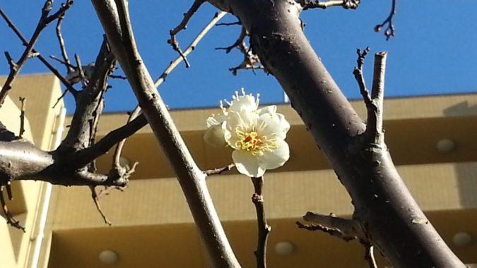 中庭の『白梅』が開花し始めました。
