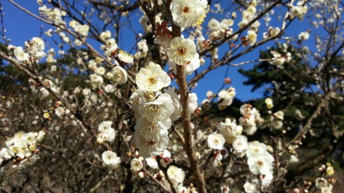 早咲きの梅がほぼ満開です。~熱海梅園梅まつり開花状況~