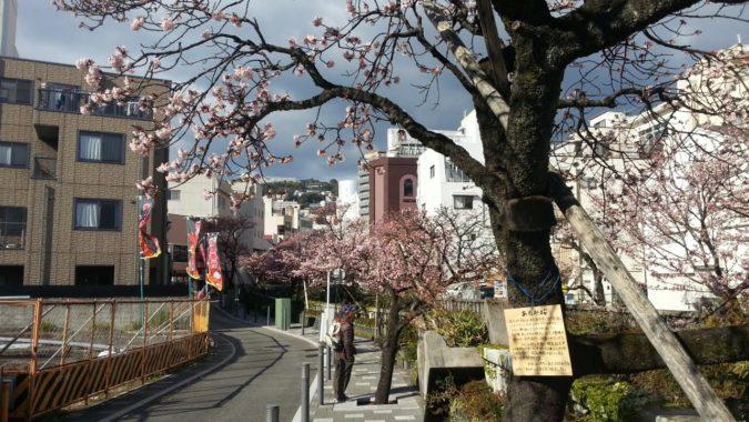 1月13日(金)今日の『あたみ桜』~糸川遊歩道~