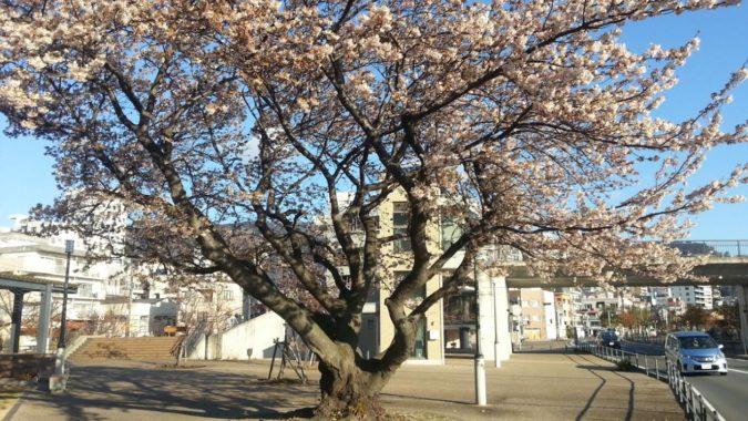 渚小公園(大月ホテル和風館より徒歩12~13分)の『大島桜』