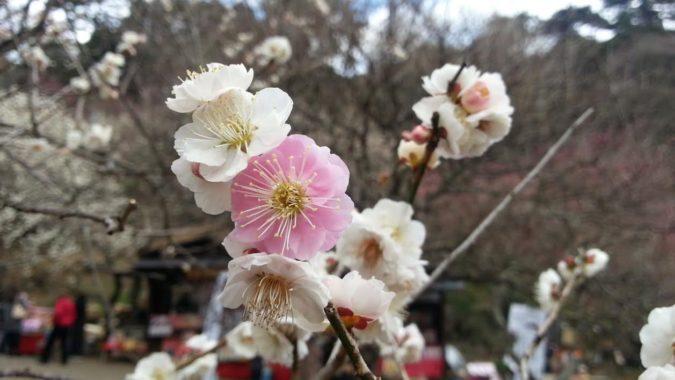 『思いのまま』が咲いています。~2月14日の熱海梅園~