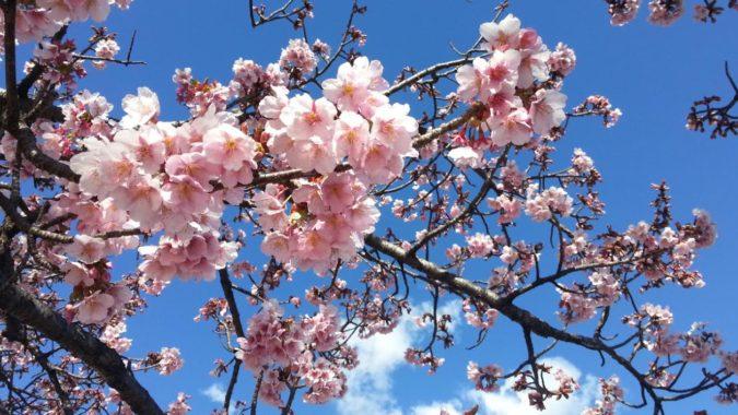 『大寒桜(おおかんざくら)』が咲き始めています。