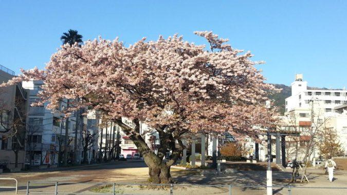 散り始めた『大島桜』~渚小公園~