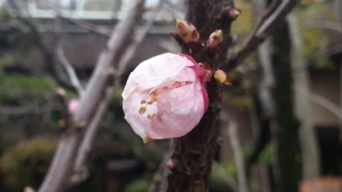 桃の花が咲き始めました。~パブリック棟6階の中庭~