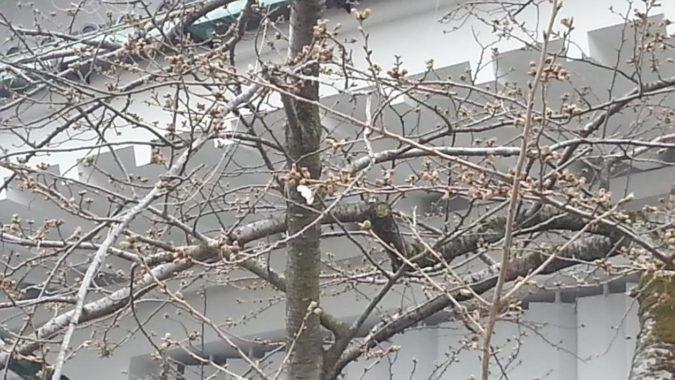 『熱海城桜まつり』が始まりました。