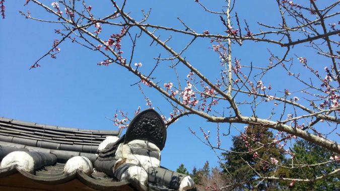 『あんず』の花も咲き始めました。~熱海梅園~