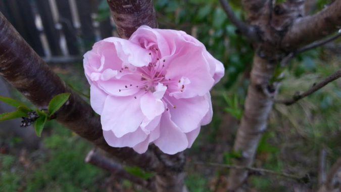 中庭の桃の花が咲き始めています。~パブリック棟6階~