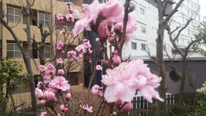 「花桃」が満開になりました。パブリック館6階の中庭