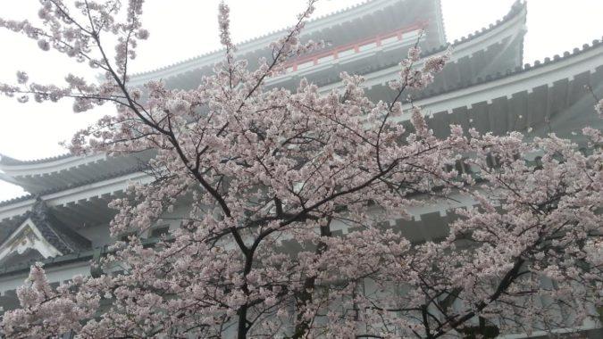 熱海城桜まつり・・・・城前の「ソメイヨシノ」は、満開です。