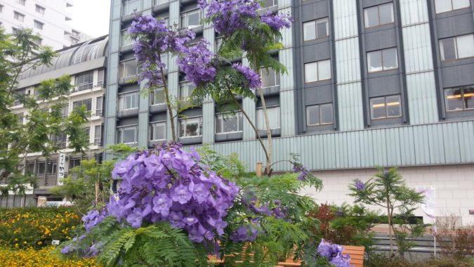6月13日(火)のジャカランダ遊歩道(ホテルミクラス前)