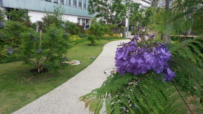 姉妹館のミクラス前のジャカランダの開花が進みます。