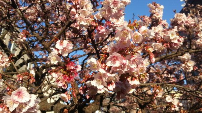 1月27日(土)晴天・・・・・・糸川遊歩道沿いの『あたみ桜』