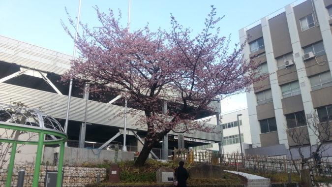 『熱海御用邸跡地』のあたみ桜 1月29日 朝