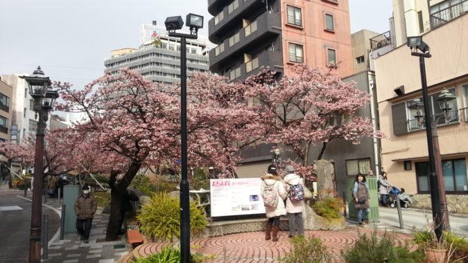1月30日(火)今日の『あたみ桜』~糸川遊歩道沿い~