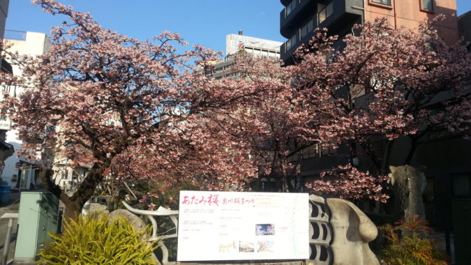 満開の『あたみ桜』~糸川遊歩道沿い~1月31日