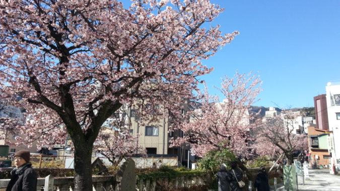 満開です。・・・・・・糸川遊歩道沿いの『あたみ桜』